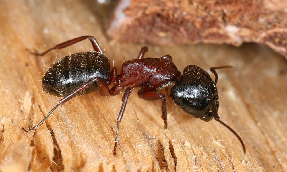 Ameisenbefall im Haus