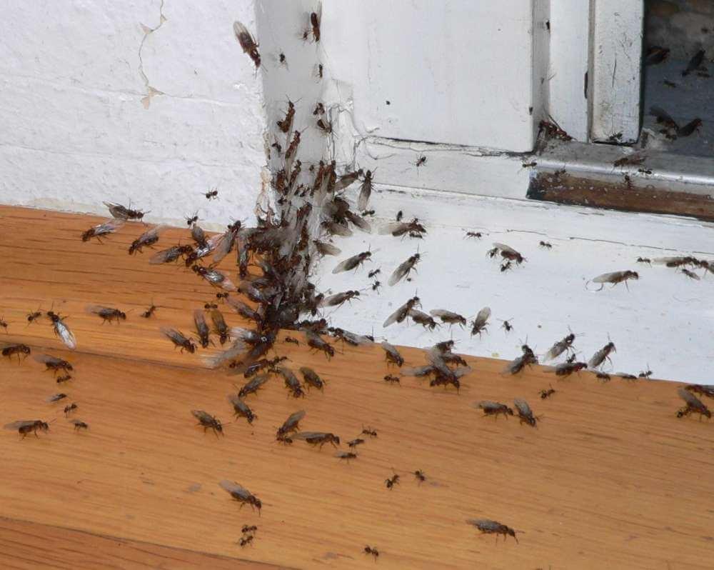 fliegende Ameisen Plage