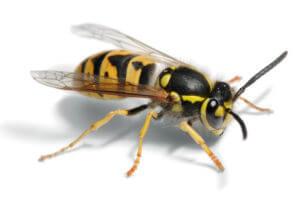 lästige Wespen -Wespennest entfernen
