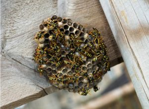 Wie man lästige Wespen und Wespen Nester los wird